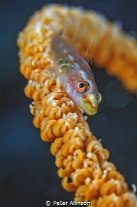 wire coral goby by Peter Allinson
