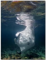 - no space to turn - Manta Ray, Bodu Hithi (Maldives) by Reinhard Arndt
