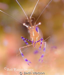 Pederson Cleaner Shrimp by Beth Watson