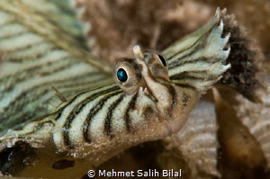 Flatworm mimicking Flounder. by Mehmet Salih Bilal