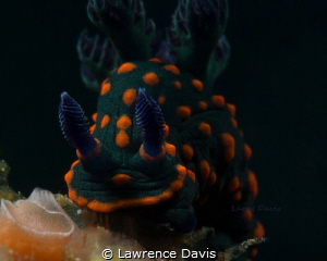Beautiful Nudi by Lawrence Davis
