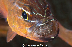 Cardinal Fish with Eggs by Lawrence Davis