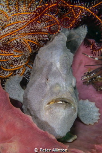Giat Frogfish taken on Cannibal rock by Peter Allinson