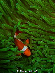 Clown fish in green anemone by Steven Withofs
