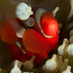 'Red anemonefish' from PNG. Taken with Olympus E-20 in Ti... by Istvan Juhasz