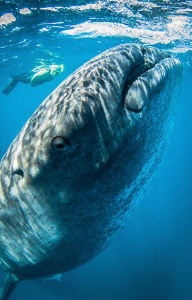 Whaleshark eye contact. No strobes allowed so close focus... by Steven Miller