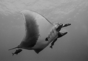 Manta Ray with Jack, Islas  Revillagigedo Mexico by Alejandro Topete
