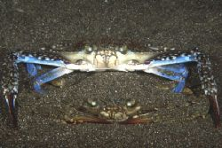 Mating crabs. Manado, Indonesia. Nikon F90X, 60mm by Pablo Pianta