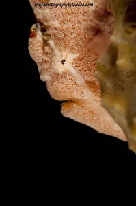 Frogfish was seen at Wakatobi resort in the Southeast Sul... by Ledean Paden