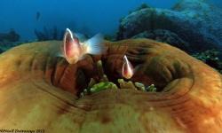 Two small anemone fish guarding their closing anenome as ... by Niall Deiraniya
