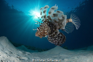 Lionfish in the Red Sea. by Christian Schlamann