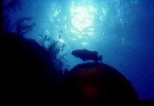 Shilouette of grouper on top of the reef,Belize C.A.,Niko... by Karelas George