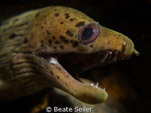 Moray eel by Beate Seiler
