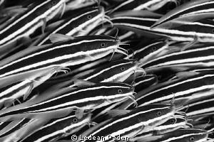 A Crowd of Catfish Nikon D800, 105 lens 2 ikelite 160 str... by Ledean Paden