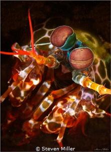 Mantis shrimp by Steven Miller