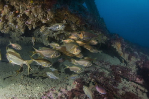 Fish at the bow of the Rotomahana, a 40 metre wreck, shel... by Haydn Salvas