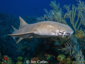 Friendly nurse shark... smile for the camera! by Jim Catlin