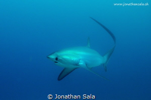 Thresher Shark in Monad Shoal by Jonathan Sala