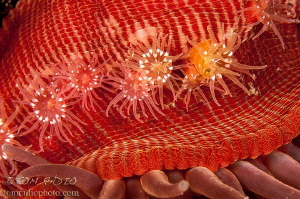 Juvenile Proliferating Anemones attached to adults stalk.... by Tom Radio