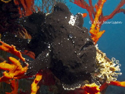 Black Beauty Giant Frogfish (Antennarius commerson) by Elly Jeurissen