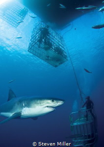 Guadalupe Great white layered in to a cage shot from the ... by Steven Miller