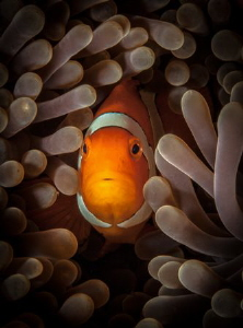 Clownfish glow by Steven Miller
