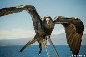 Galapagos frigate hitching a ride, but not too steady in ... by Elaine Wallace