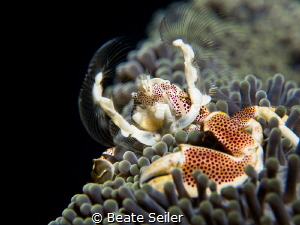Porcelain crab by Beate Seiler