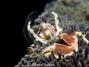 Porcelain crab by Beate Seiler
