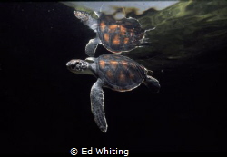 Saved from the nets. Released from a fisherman's net and ... by Ed Whiting