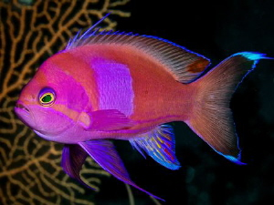 Squarespot Anthias took awhile to hold still by Steven Miller
