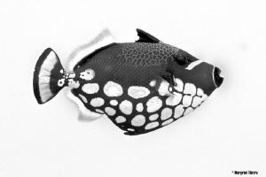 Clowny Fish Nikon D80, Ikelite housing + two strobes (Ik... by Margriet Tilstra