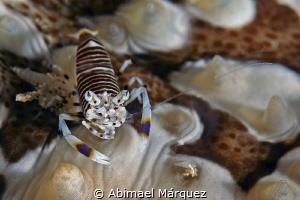 Bumblebee Shrimp by Abimael Márquez