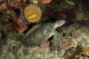 The 'Odd Couple' Turtle and remora taking a time out unde... by David Gilchrist