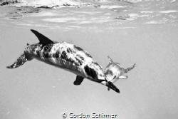 dolphins crossing by Gordon Schirmer