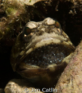 Male banded jawfish with eggs by Jim Catlin