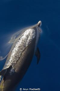 Common dolphin exhaling by Arun Madisetti