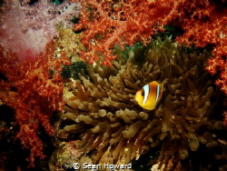 Clownfish among coral and anemone by Sean Howard