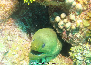 Green Moray Eel taken in San Pedro Belize by Daniel Waldman