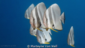 A group of batfishes passing by at the Six Senses Laamu h... by Marteyne Van Well
