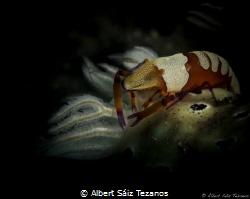 Emperor shrimp on top of a Hypselodoris tryoni nudibranch by Albert Sáiz Tezanos