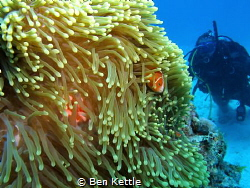 Clownfish playing peekaboo with diver. by Ben Kettle