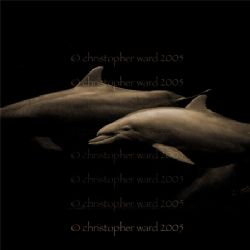 Florida. Atlantic dolphins 2, 15' of water. by Christopher Ward