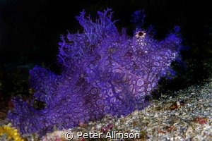 purple lacy rhinopea by Peter Allinson