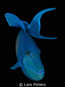 Redtoothed triggerfish (Odonus niger), often seen allover... by Lars Peters