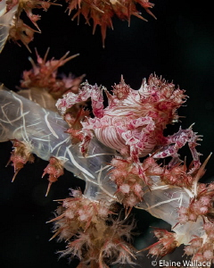 Soft coral crab by Elaine Wallace