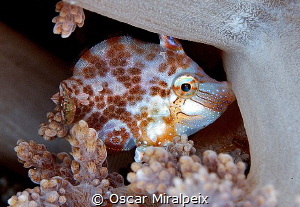 This little guy is biting the soft coral for the strong c... by Oscar Miralpeix