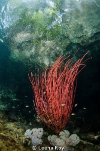 Red whip coral by Leena Roy