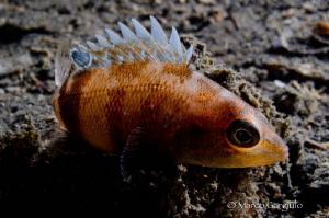 Little sleeping fish in Backlight, Night dive by Marco Gargiulo