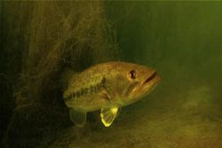 freshwater bass lying in ambush.d70 and 10.5 with filter by Gregory Grant